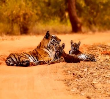 Photo Tigres et Palais du Rajasthan avec Voiture et Chauffeur privé