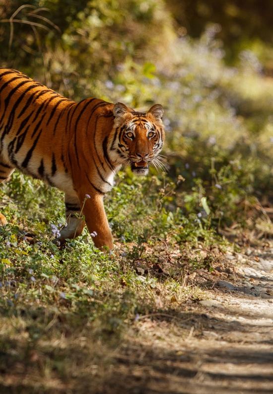 Photo Tigres et<br />Rajasthan